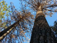Bark Beetle infestation
